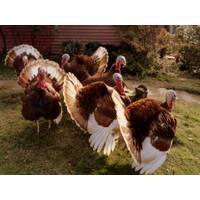 CACKLE HATCHERY Bourben Red Turkey from Blain's Farm and Fleet