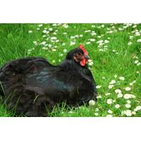 CACKLE HATCHERY Black Australorp Pullet Chick from Blain's Farm and Fleet