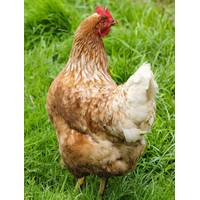 CACKLE HATCHERY Cinnamon Queen Pullet Chick from Blain's Farm and Fleet