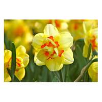 Longfield Gardens Tahiti Double Daffodil Bulbs from Blain's Farm and Fleet