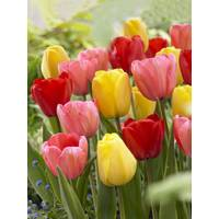 Longfield Gardens Assorted Darwin Hybrid Tulip Bulbs from Blain's Farm and Fleet