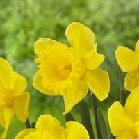 Longfield Gardens Unsurpassable Daffodil Bulbs from Blain's Farm and Fleet