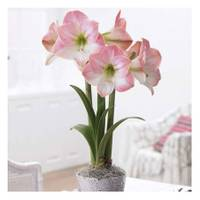 Longfield Gardens Apple Blossom Amaryllis Bulb from Blain's Farm and Fleet