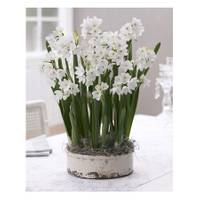 Longfield Gardens Ziva Bulbs from Blain's Farm and Fleet