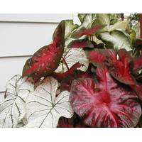 Longfield Gardens Assorted Caladium Bulbs from Blain's Farm and Fleet