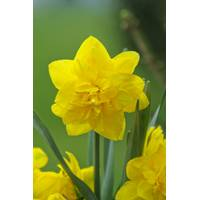 Longfield Gardens Golden Ducat Daffodil Bulb from Blain's Farm and Fleet