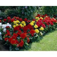 Longfield Gardens Assorted Non - Stop Bulbs from Blain's Farm and Fleet