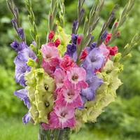 Longfield Gardens Gladiolus Easter Mix from Blain's Farm and Fleet