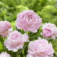 Longfield Gardens Sarah Bernhardt Peony from Blain's Farm and Fleet