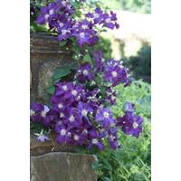 Longfield Gardens Clematis Jackmanii from Blain's Farm and Fleet