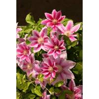 Longfield Gardens Clematis Fire Works from Blain's Farm and Fleet
