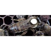 Little Giant Russian Marked Queen Bee from Blain's Farm and Fleet