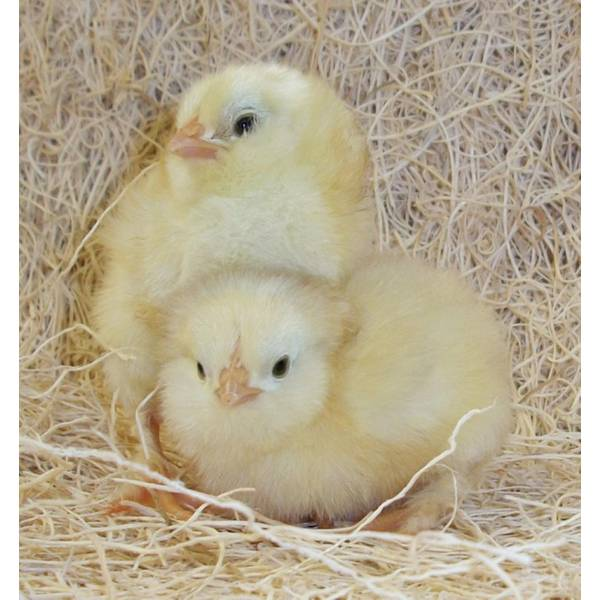 Cackle Hatchery Welsummer Pullet Chicken (Female) - 137F