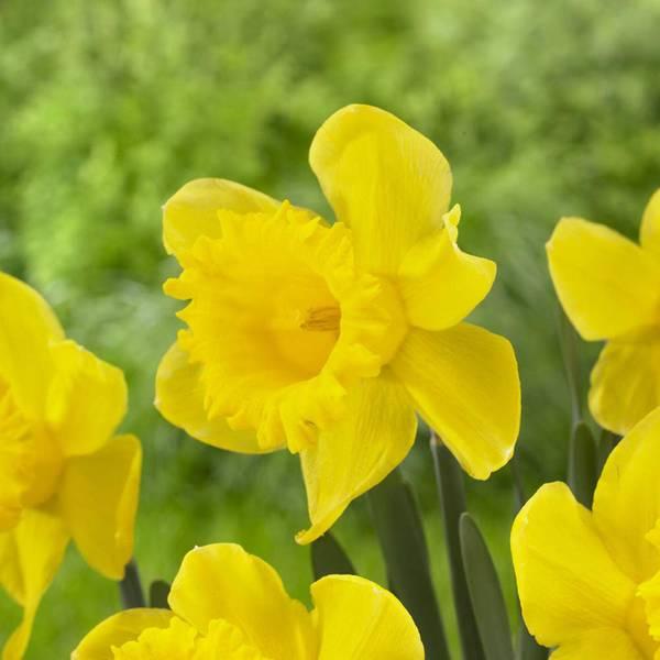 Unsurpassable Daffodil Bulbs