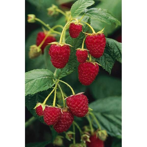 Photo of Brandywine Raspberry Plant