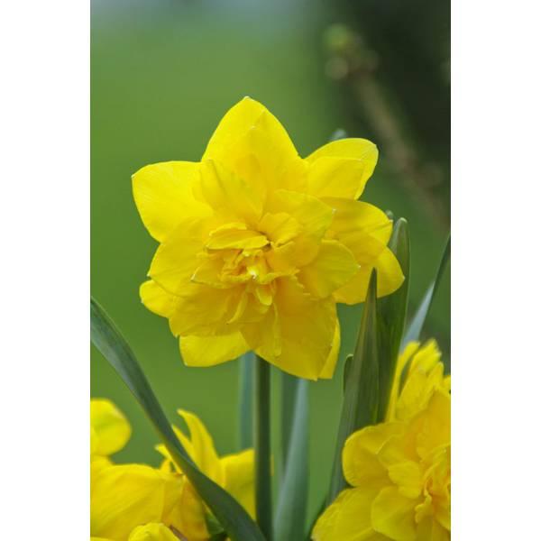Golden Ducat Daffodil Bulb