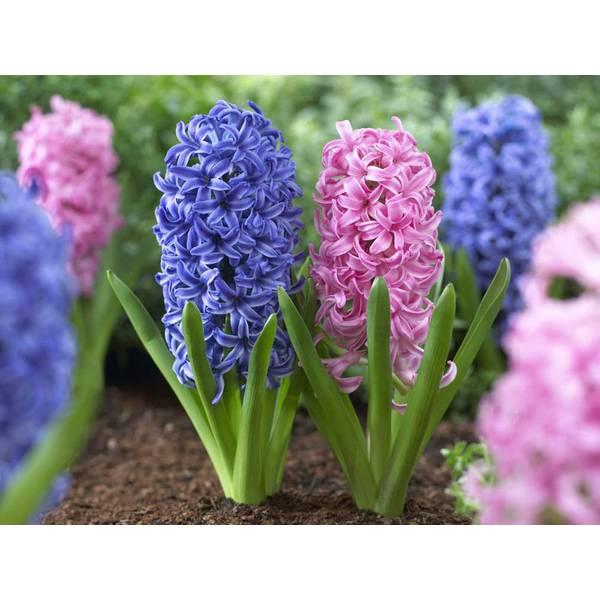 Blue Jacket & Pink Pearl Hyacinth Bulbs