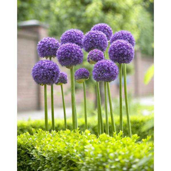 Gladiator Allium Bulb